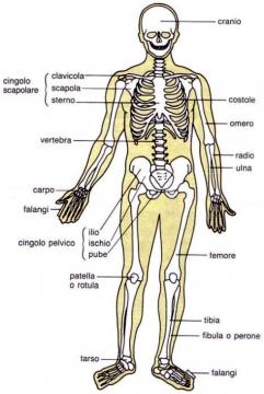 'Sezione dello scheletro umano'