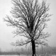 L'olmo caduto Chiunque avesse abbattuto l'olmo Non lo aveva tagliato netto, E sanguinò finché la neve dal cielo Non sanò la ferita con una placenta d'argento Il tronco, lucente di smalto di ghiaccio Bianco venato come teca di cristallo, Rigido giacque contro la nuova voce Sibilata tra i denti invernali del vento. Qualunque mai cosa scaldasse L'olmo fino alle radici entro il suolo Pietosa come la primavera Scaldò il cuore del fusto Legato al suo ceppo da un lembo Di legno, quasi cordone d'ombelico, Simile a madre che nutra il figliolo Nel suo mondo d'embrione Finché poté far breccia nel […]